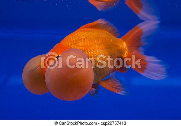 Gold Fish Beautiful Goldfish On Blue Background