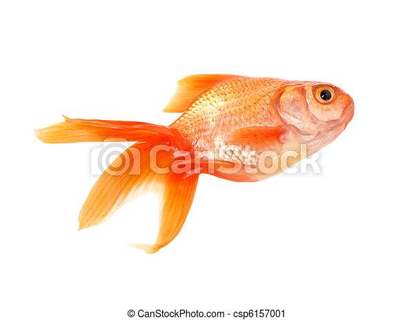 Gold fish - csp6157001