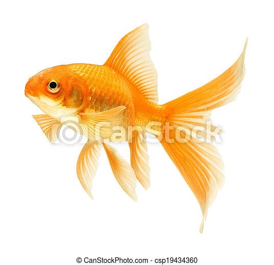 gold fish - csp19434360