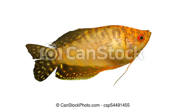 Gold fish - csp54491455