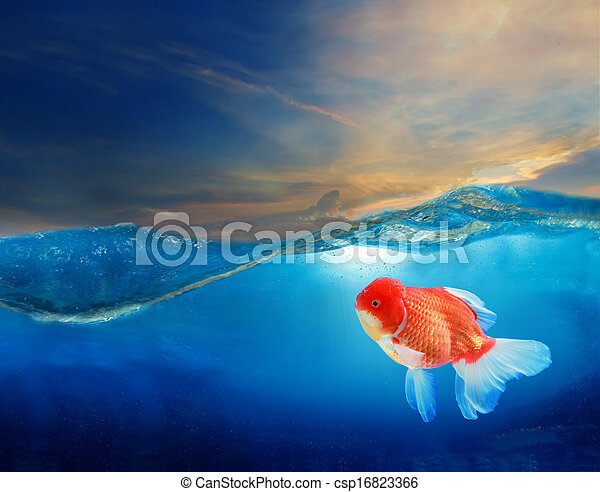 gold fish under blue water with bea - csp16823366