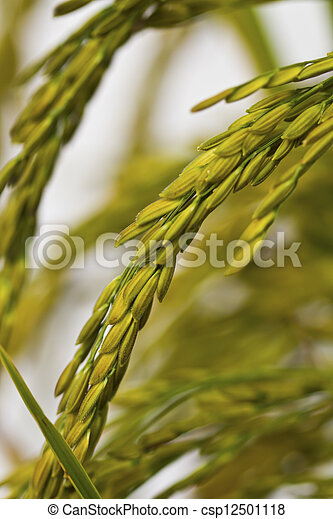 Gold paddy rice on white background - csp12501118