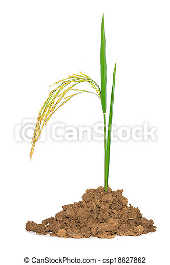 Gold paddy rice on white background - csp18627862