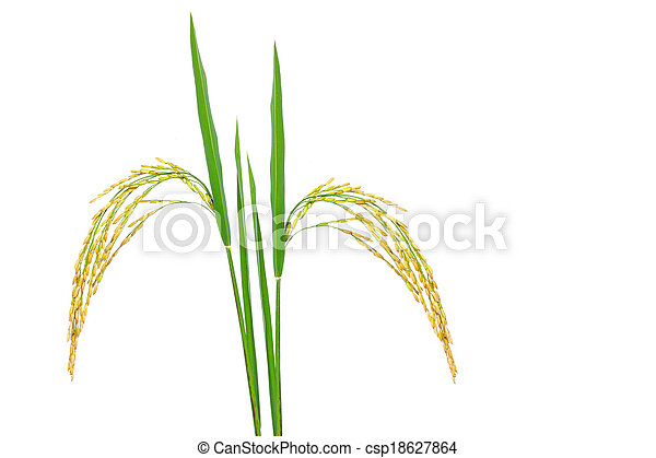 Gold paddy rice on white background - csp18627864