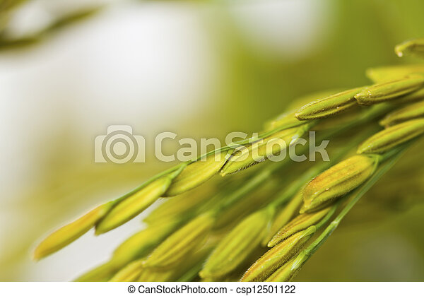 Gold paddy rice on white background - csp12501122