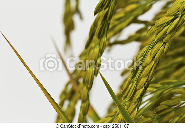 Gold paddy rice on white background - csp12501107