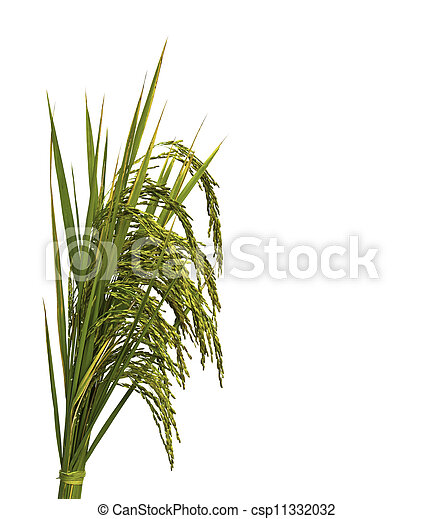 Gold paddy rice on white background - csp11332032