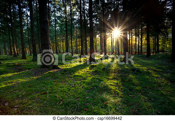 gold sunbeams in coniferous forest - csp16699442