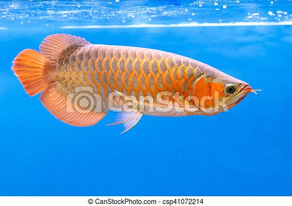 Golden arowana swims in a fish tank. - csp41072214