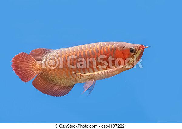 Golden arowana swims in a fish tank. - csp41072221