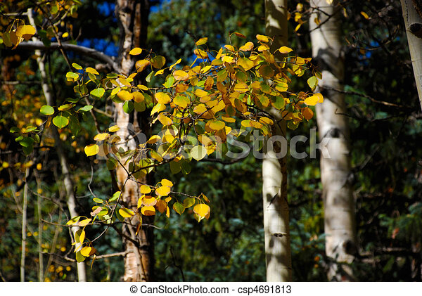Golden aspen leaves - csp4691813