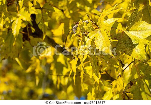 golden autumn leaves - csp75015517