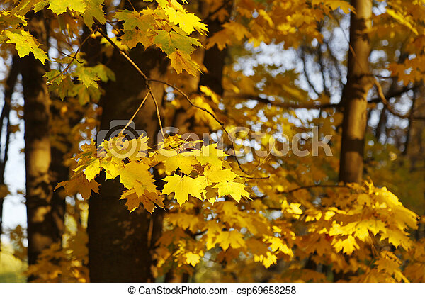 Golden autumn maple trees burning in the evening sun - csp69658258