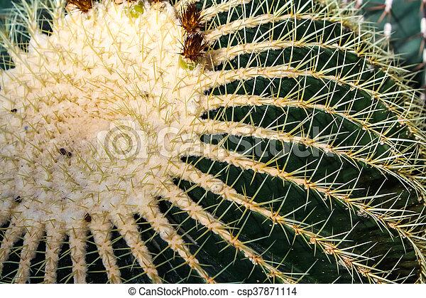 Golden barrel cactus - csp37871114