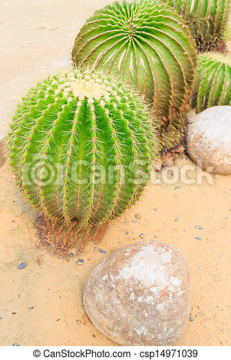 Golden barrel cactus - csp14971039
