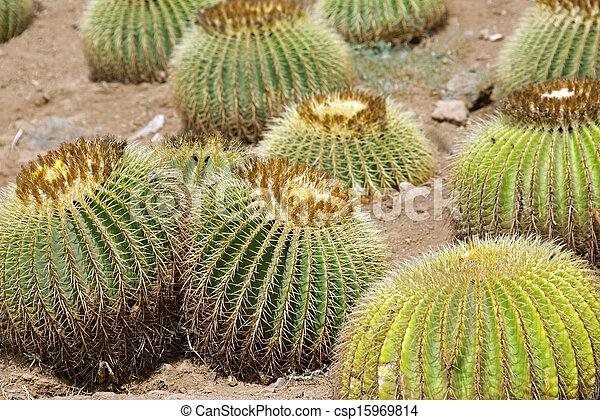 Golden barrel cactuses - csp15969814