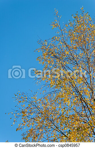 Golden Birch - csp0845957
