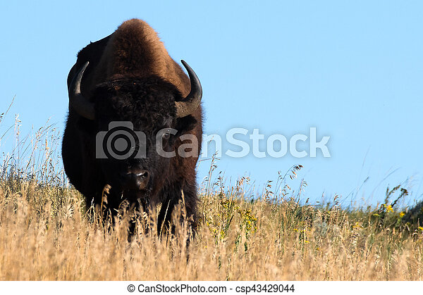 Golden Bison - csp43429044