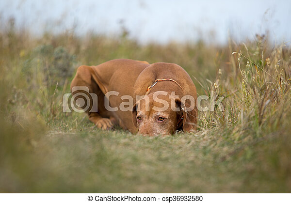 golden colour hunting dog laying calm in the grass - csp36932580