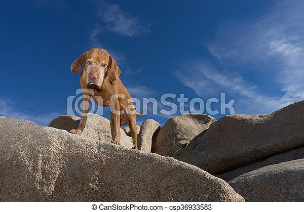 golden colour vizsla dog on a cliff looking down - csp36933583