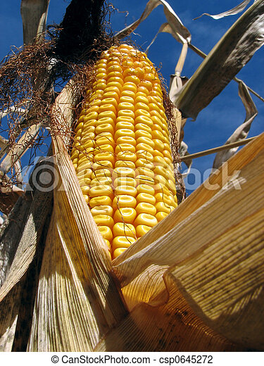 Golden corn in the cornfield - csp0645272