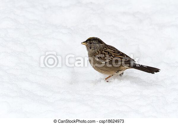 golden crowned sparrow - csp18624973