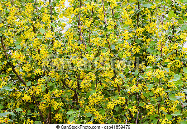 Golden currant blooms in spring in the garden yellow flowers mightylinksfo