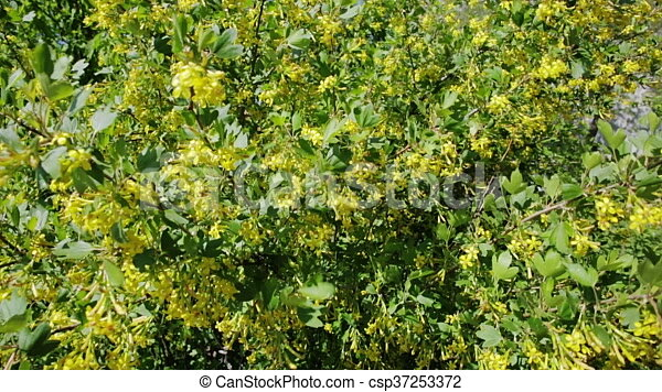 Golden currant bush with yellow flowers spring flowering mightylinksfo