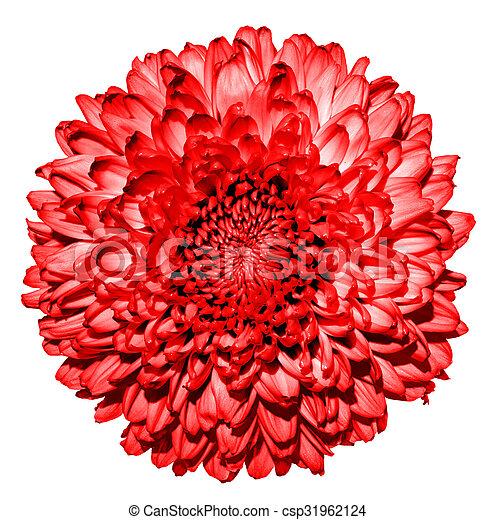 (golden-daisy), 花, 超現実的, マクロ, 隔離された, 暗い, 菊, 白い赤 - csp31962124