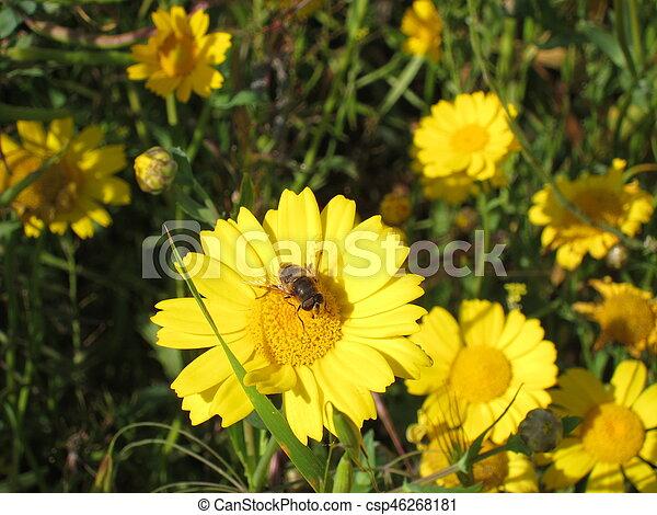 golden daisy - csp46268181