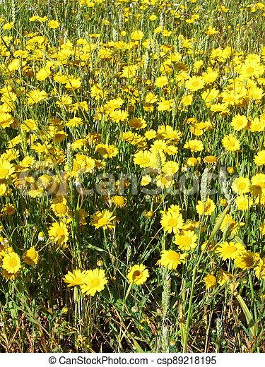 golden daisy - csp89218195