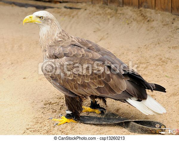 Golden Eagle - csp13260213