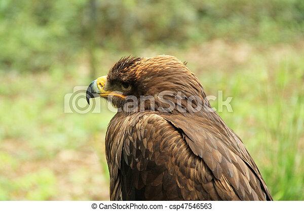 golden eagle - csp47546563