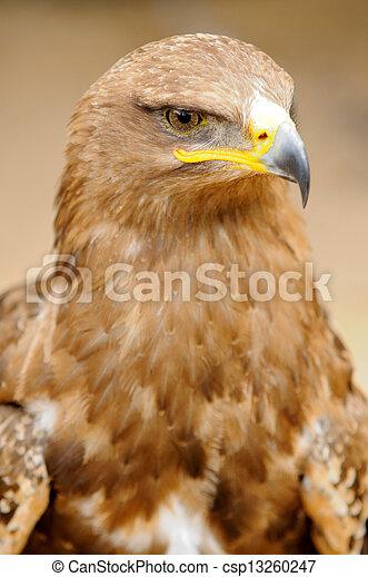 Golden Eagle - csp13260247