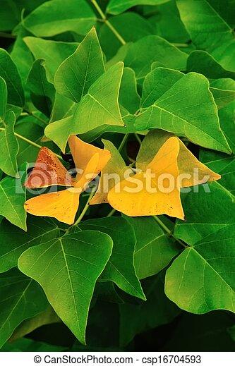 golden Erythrina leaves - csp16704593