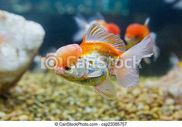 golden fish in a freshwater aquarium - csp23385757