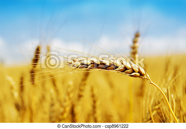 golden harvest close up - csp8961222