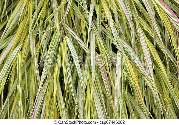 Golden Japanese forest grass - csp67446262