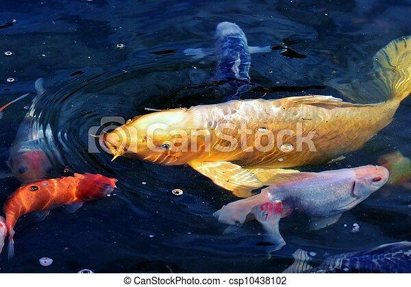 Golden Koi Golden Ornamental Koi Fish In Garden Pond