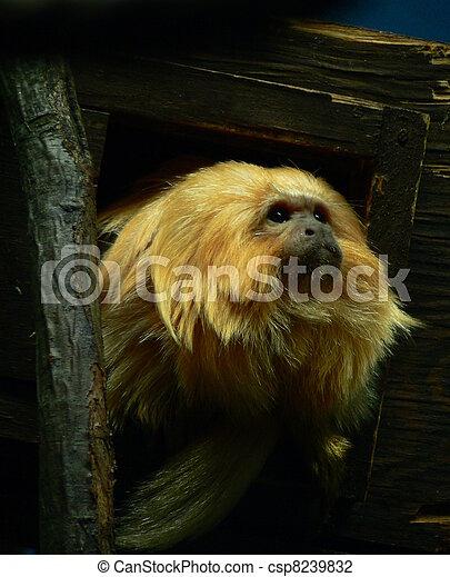 golden lion tamarin - csp8239832