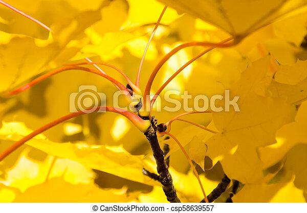 Golden Maple Leaves Exhibiting the Elegance of Autumn - csp58639557