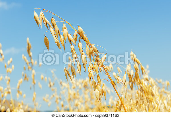 golden oat close up - csp39371162