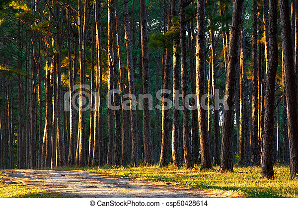 golden pine trees pine trees and grasses expose to the morning