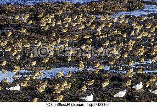 Golden plover, Pluvialis apricaria - csp17423165