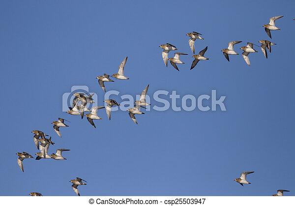Golden plover, Pluvialis apricaria - csp25503947