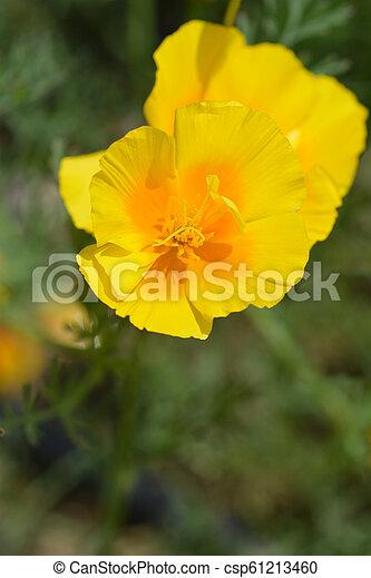 Golden Poppy Flower Close Up Of A Golden Poppy Flower Latin Name