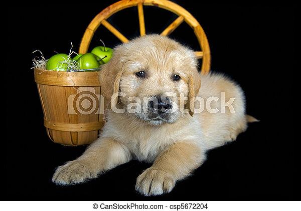 Golden Pup - csp5672204
