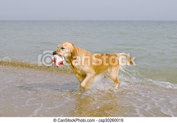 Golden retriever brings the ball from the sea - csp30260019