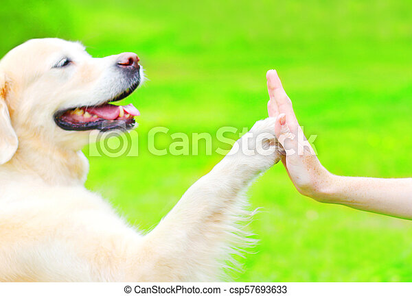 Golden Retriever Dog On The Grass In Park Giving Paw To Hand Canstock