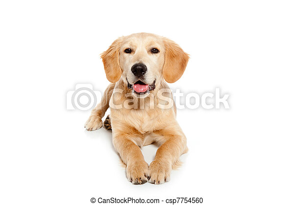 Golden retriever dog puppy isolated on white - csp7754560